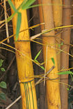 Bamboo tree, Boquete, Chiriqui, Panama Royalty Free Stock Photography