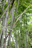 Bamboo tree of Bright green in public garden. Bamboo tree of Bright green in public garden at Thailand Royalty Free Stock Photo