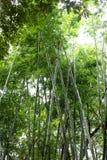 Bamboo tree of Bright green in public garden. Bamboo tree of Bright green in public garden at Thailand Stock Photos