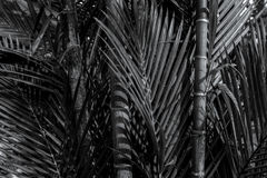 Bamboo tree close up in black and white Royalty Free Stock Photo