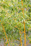 Bamboo tree close up view Stock Photography