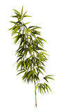 Bamboo Tree Royalty Free Stock Image