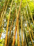 Bamboo Tree during Daytime Royalty Free Stock Photography