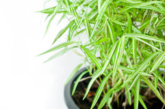Bamboo tree in flowerpot Royalty Free Stock Photography