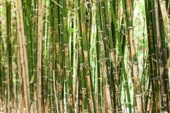 Bamboo tree Royalty Free Stock Photography