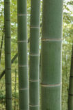 Bamboo tree. In bamboo forest Royalty Free Stock Photo