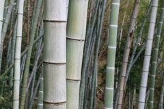 Bamboo tree. In bamboo forest Stock Image