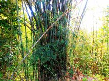 Bamboo tree in the forest stock images