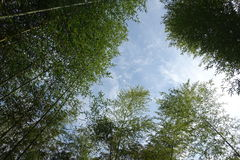 Bamboo tree forest Royalty Free Stock Image