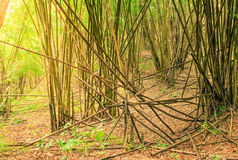 Bamboo tree in the forest. royalty free stock photo