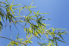 Bamboo tree in front os blue sky Stock Images
