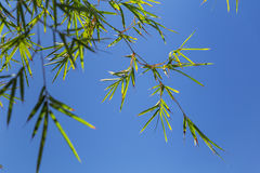 Bamboo tree in front os blue sky Stock Photo
