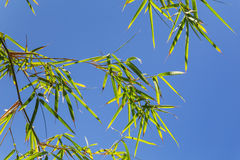 Bamboo tree in front os blue sky Royalty Free Stock Images