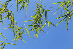 Bamboo tree in front os blue sky Royalty Free Stock Photo