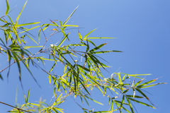 Bamboo tree in front os blue sky Royalty Free Stock Photography