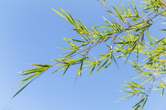 Bamboo tree in front os blue sky Royalty Free Stock Image