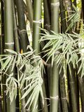 Bamboo tree Stock Images