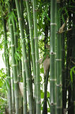 Bamboo tree in the garden Royalty Free Stock Photography