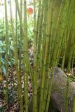 Bamboo tree in garden. Green Stock Photos