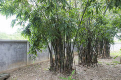 Bamboo tree in the garden. Near the brick fence Royalty Free Stock Image
