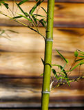 Bamboo tree at the garden. With wooden background - close up Royalty Free Stock Photos