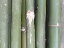 Bamboo tree. Green bamboo tree Stock Images