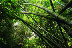 Bamboo tree. Green bamboo tree in forest Stock Images