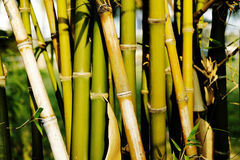 Bamboo tree. Green bamboo tree in garden Royalty Free Stock Images