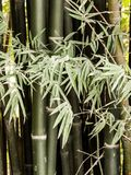 Bamboo tree Stock Image
