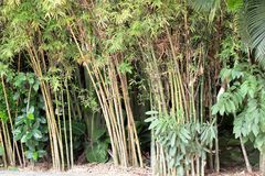 Bamboo. Tree with green leaves Stock Photography