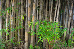Bamboo tree with green leaves photo taken in Jakarta Indonesia Royalty Free Stock Image