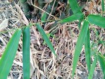 Bamboo tree. Green leaves Thai bamboo tree Royalty Free Stock Photo