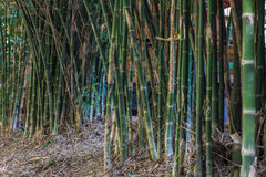 Bamboo tree Royalty Free Stock Images