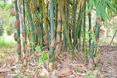 Bamboo tree. The group of green bamboo trees grow in asia Royalty Free Stock Image