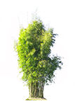 Bamboo tree isolate Stock Photos