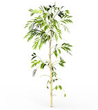 Bamboo tree isolated on white Royalty Free Stock Photography