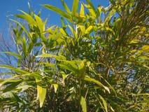 bamboo tree leaves background Stock Photo