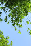 Bamboo tree leaves Stock Photo