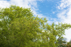 Bamboo tree leaves clouds and the blue sky Background Royalty Free Stock Images