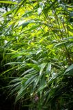Bamboo tree branches background. Bamboo tree leaves. Exotic plants, green, patterned background Stock Images