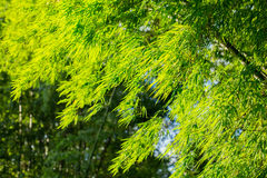 Bamboo tree with leaves. Bamboo tree with green leaves Royalty Free Stock Images