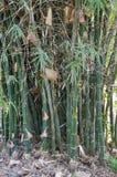 Bamboo tree in nature garden. Green bamboo tree in nature garden Stock Photos