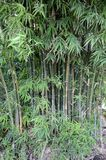 Bamboo tree in nature garden. Green bamboo tree in nature garden Royalty Free Stock Photography