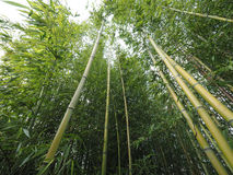 Bamboo tree perspective Stock Images