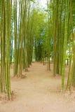 Greeb Bamboo tree plant in garden Stock Photography