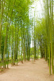 Greeb Bamboo tree plant in garden Stock Photos