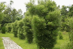 Bamboo tree. In a row Royalty Free Stock Photography