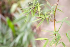 Bamboo tree standing in jungle Stock Photo
