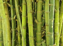 Bamboo tree texture background. Green bamboo tree texture background Royalty Free Stock Photo