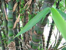 Bamboo tree. Thai green leaf bamboo tree Royalty Free Stock Image